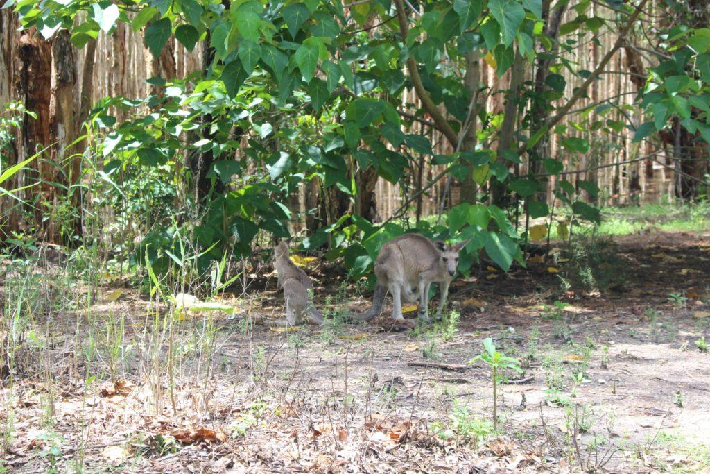 ゴールドコーストで野生コアラ&カンガルーに会えるクーンババとは?